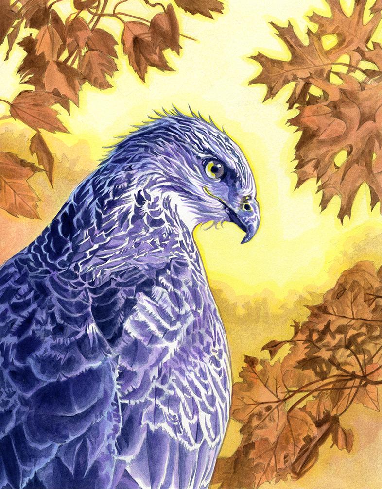Hawk by Alanpaints