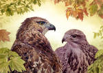 A Pair of Hawks