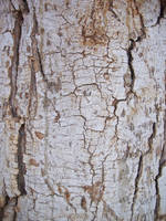 Texture: Bark Cracked 7 by ivelt-resources