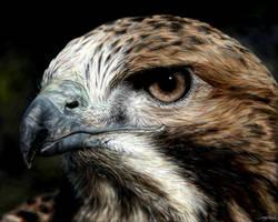 Bird of Prey by Eenuh