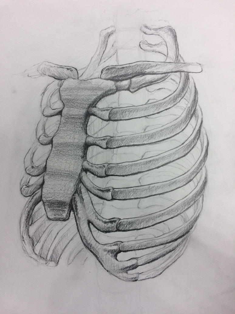 Rib Cage (Anatomy Drawing Class) by Gearetic on DeviantArt