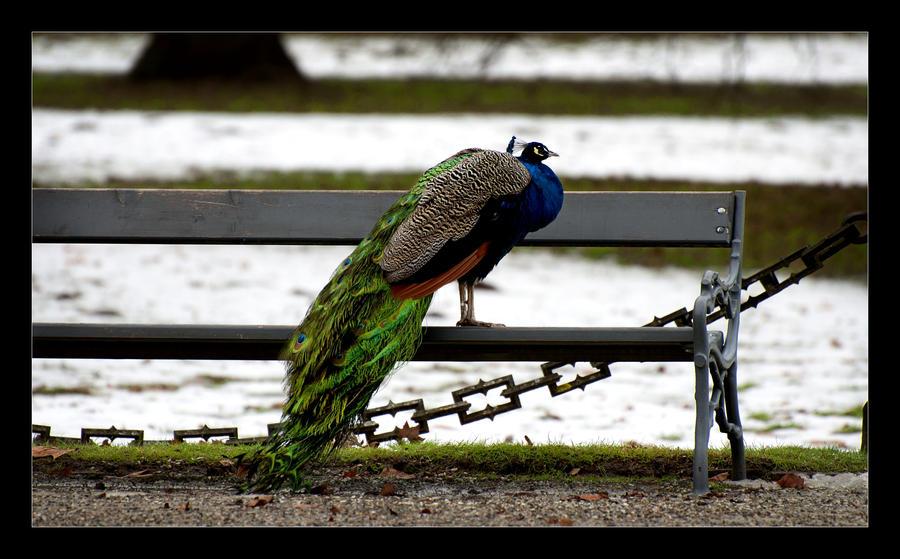 Peacock wallpaper > Peacock Papel de parede > Peacock Fondos