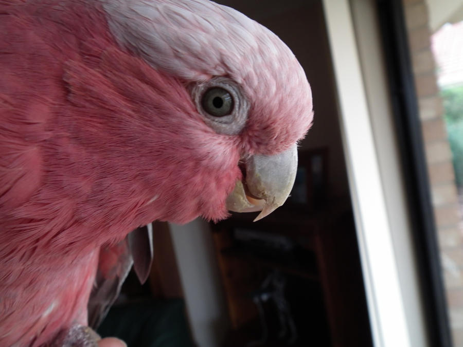 from Cason male and female pink cockatoos