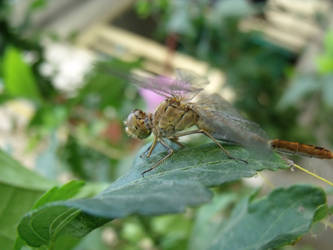 Hey there little dragonfly by IllussionDell