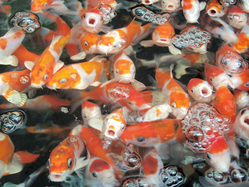 Baby koi x by badromance123 on deviantart for Baby koi carp