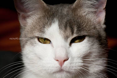 Serious Cat by Nicho90