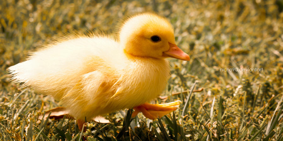 Yellow baby ducks walking - photo#16