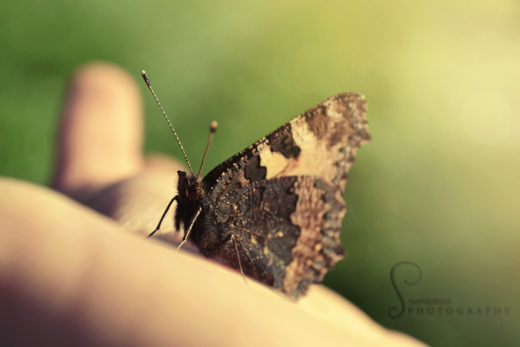 Butterfly by Symphonyy3
