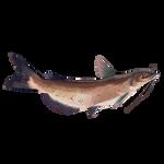 Catfish by Ulfrheim