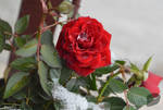 Snow in rose by trollwaffle