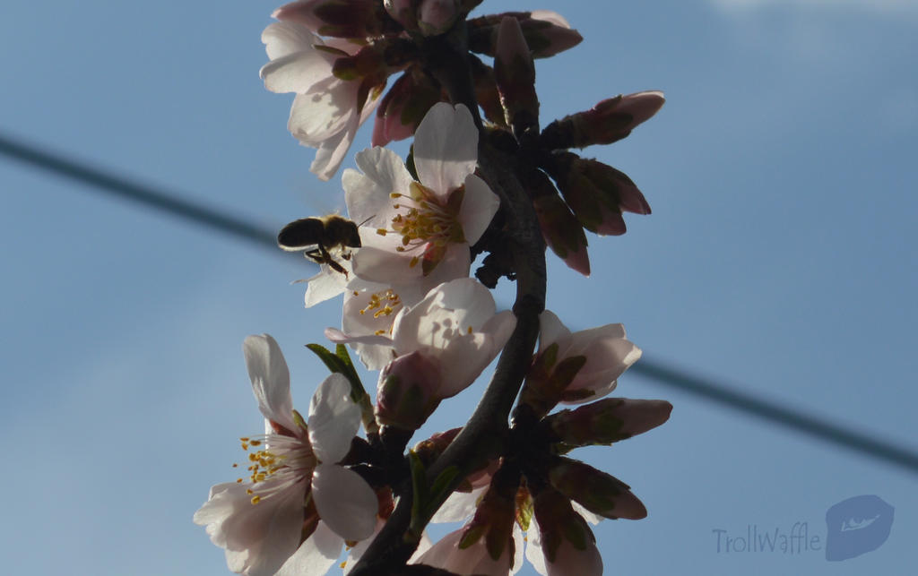 almonds flower and bee by trollwaffle