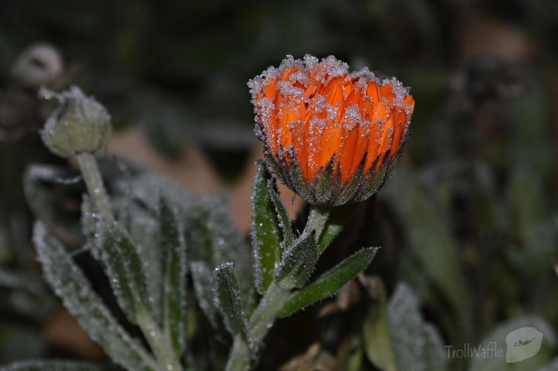 Frozen Flower by trollwaffle