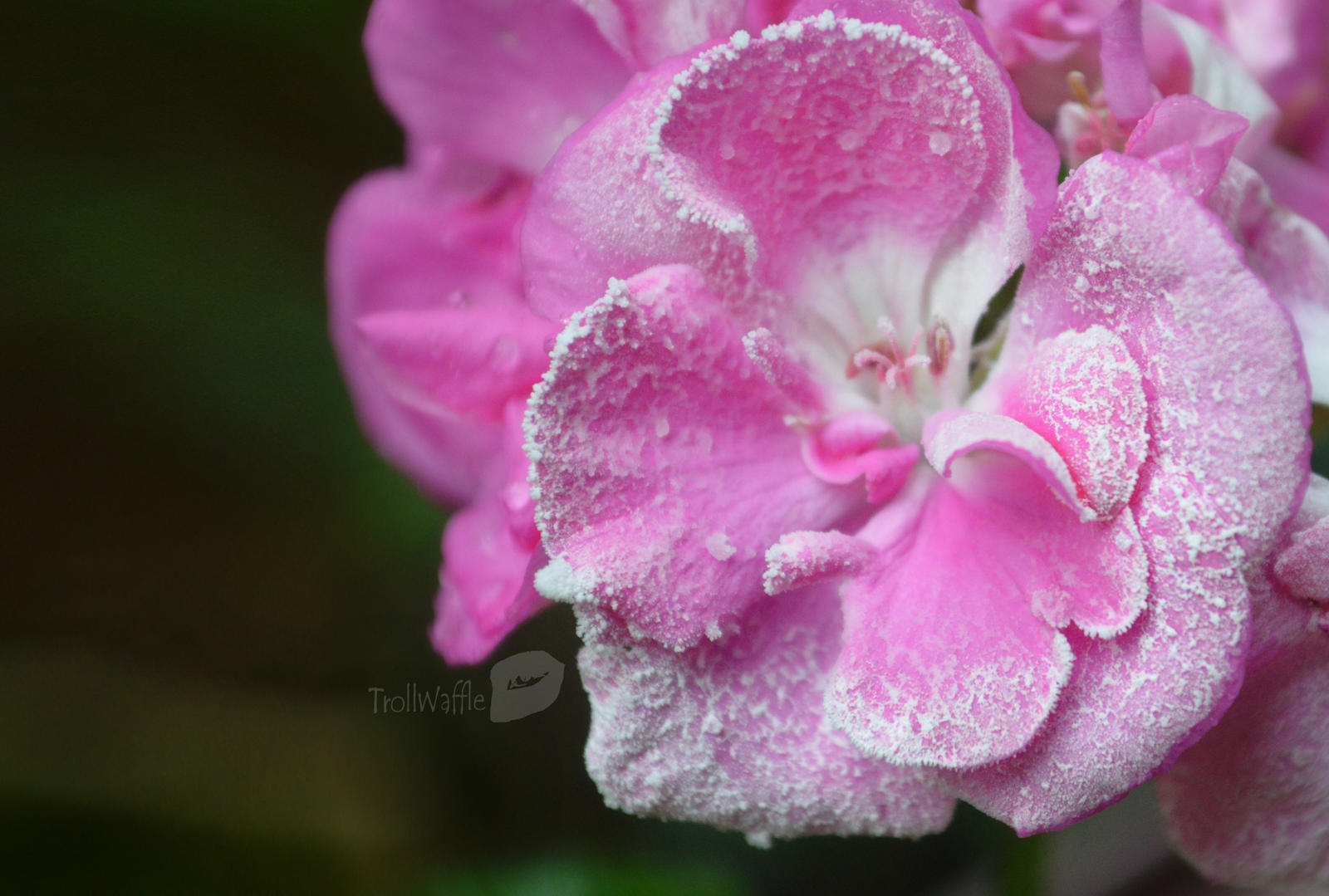 Frozen flower in summer by trollwaffle