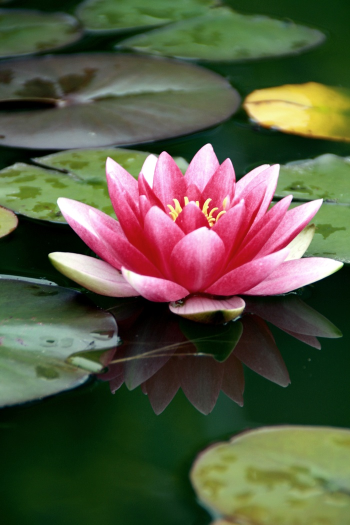 Pink Water Lily By Fr0zenx3 On Deviantart
