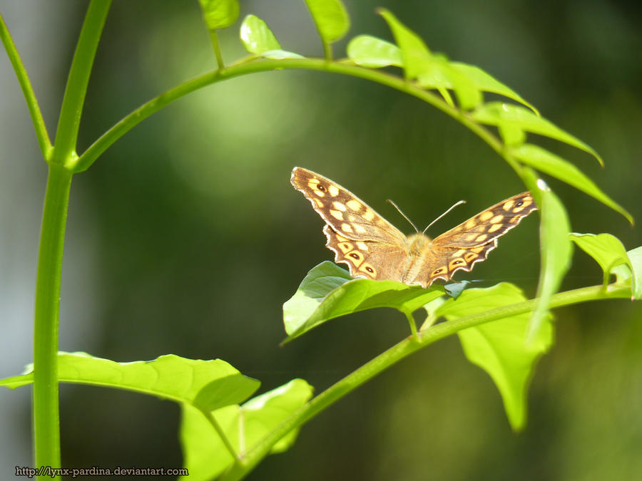 . Summer Butterfly 2 . by Lynx-Pardina