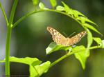 . Summer Butterfly 2 .
