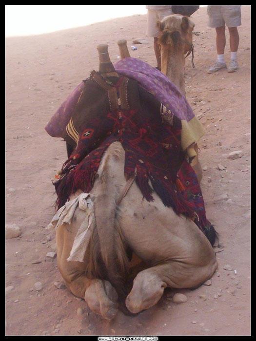 Camels Ass 104