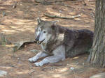 timber wolf 02