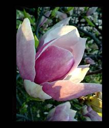 ..magnolia..