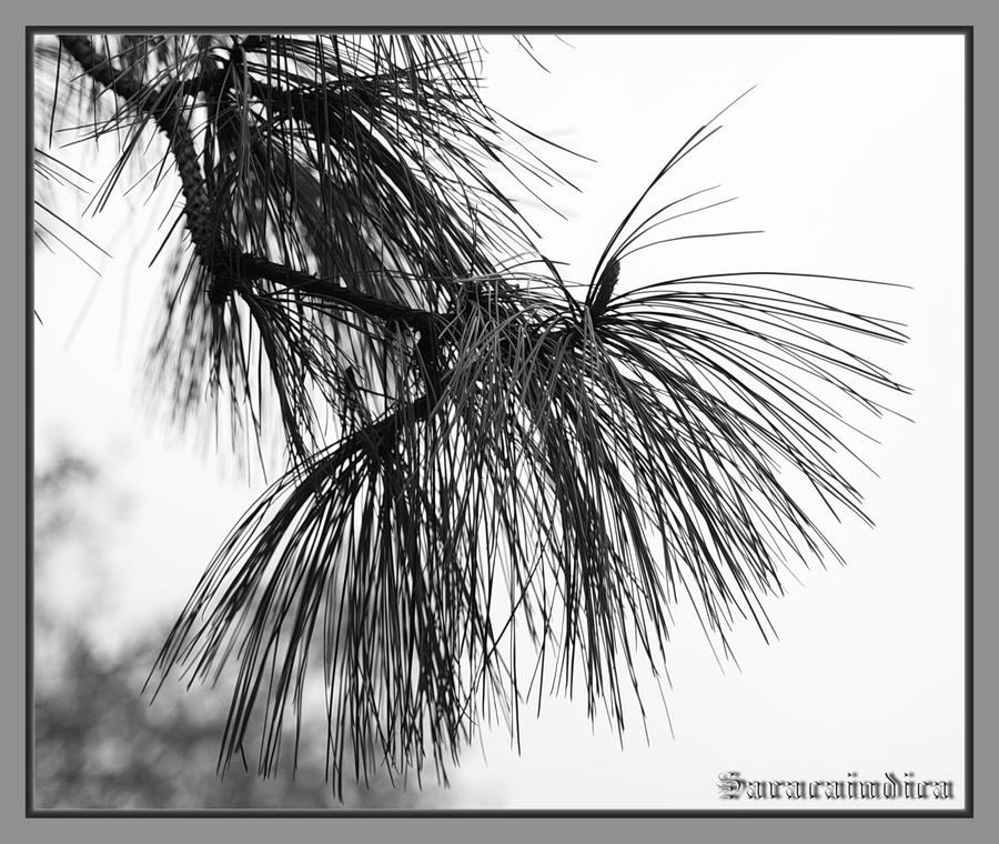 Pine branch by saracaindica