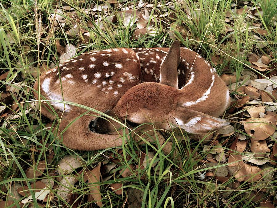 Lost Baby Deer by carvedangel