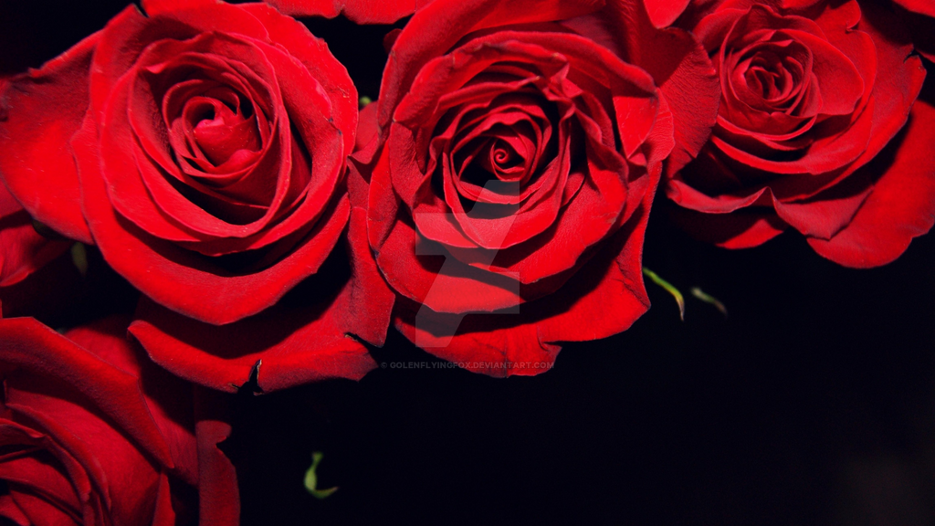 Download Black And Red Rose Wallpaper Gallery  botherland