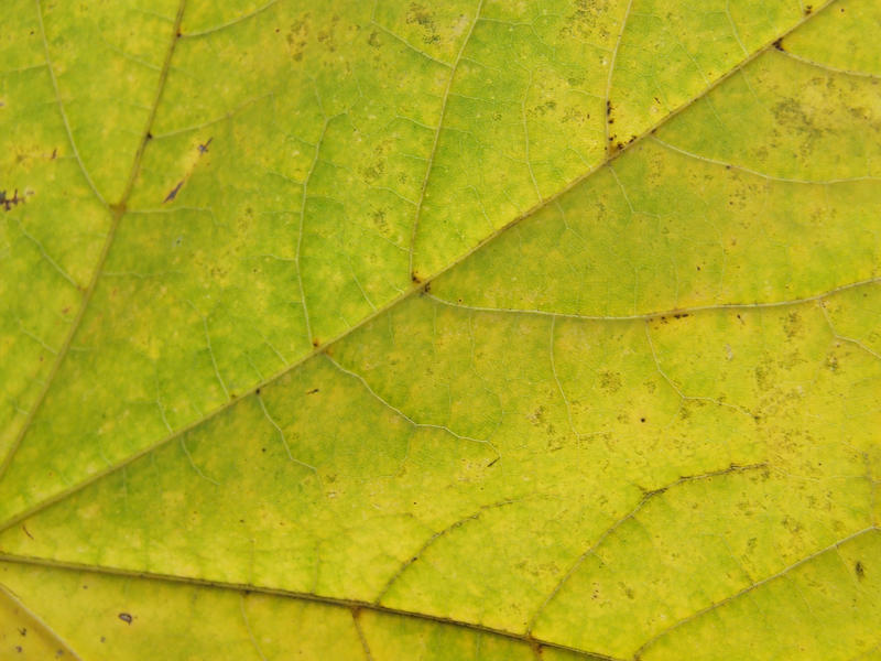 leaf texture by YvaineGlareStock