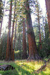 Meadow and sequoias STOCK