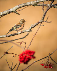 Chaffinch and Hawthorn Berries by RabbitBlackArt
