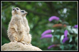 meerkats two by rorshach13