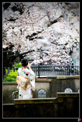 Kiyamachi Sakura