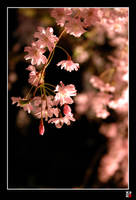 night sakura by tensai-riot