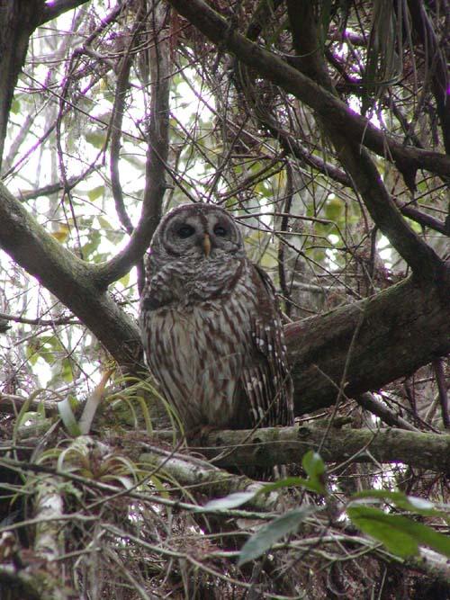 Barred owl by illmatar