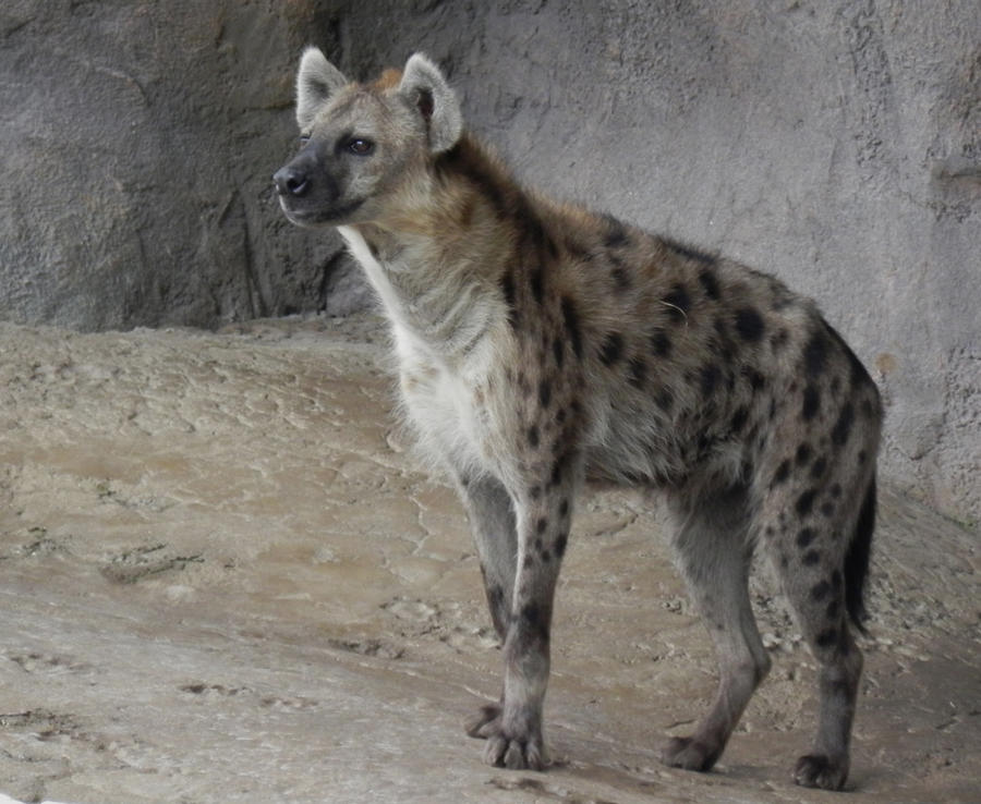 Spotted hyena by illmatar
