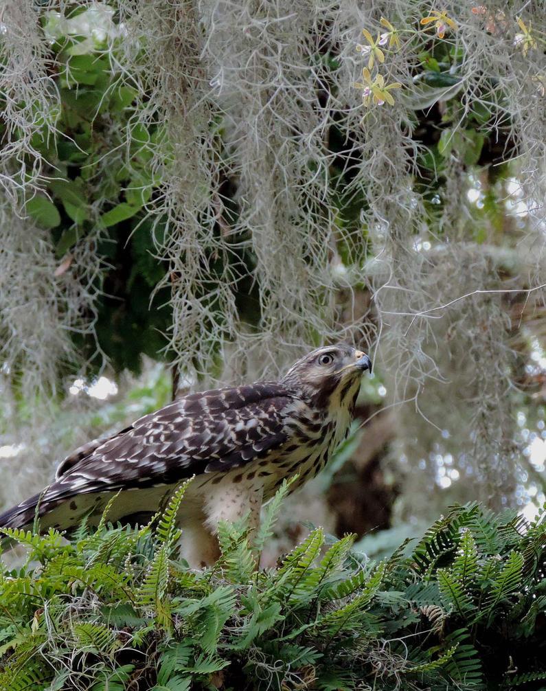 Hawk in the hammocks by illmatar