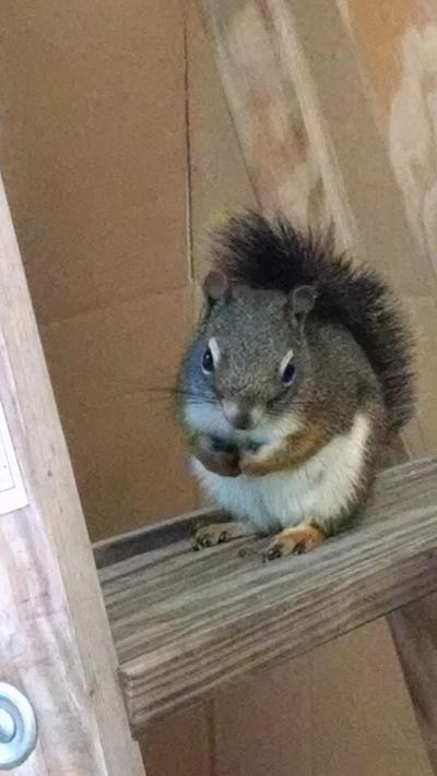 Squirrel  by KlTTEN-KANDY