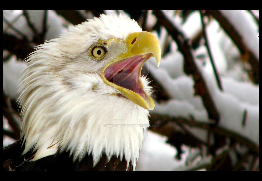 Bald Eagle 3 by Benjamin12282
