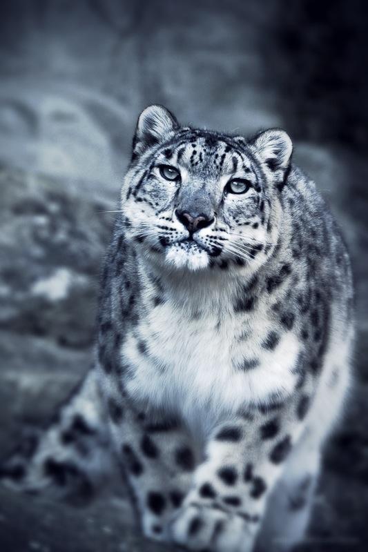 Snow Leopard by EnriqueVelasco