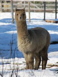 Hiya Alpaca by hpets