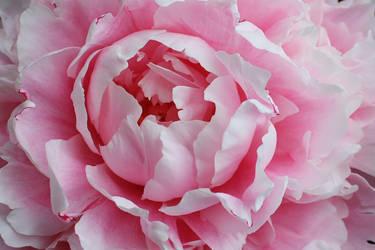 more pinkPeony by swandundee