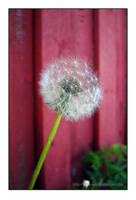 'dandelion.2'