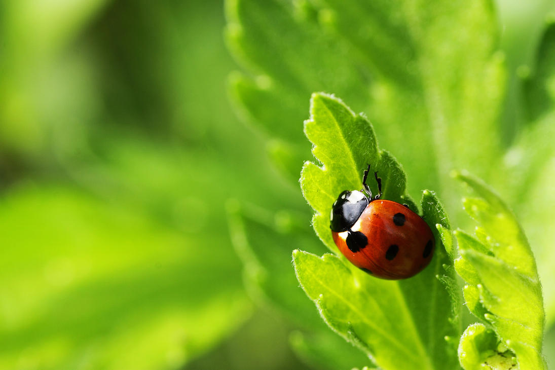 Ladybug by Skaldur