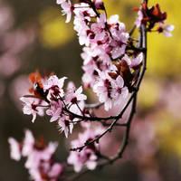 Cherry Blossom by Skaldur
