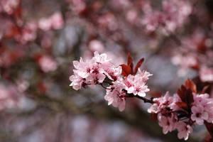 Cherry Blossom ... by Skaldur