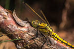 Young female Black-tailed Skimmer