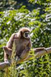 Lar Gibbon by Skaldur