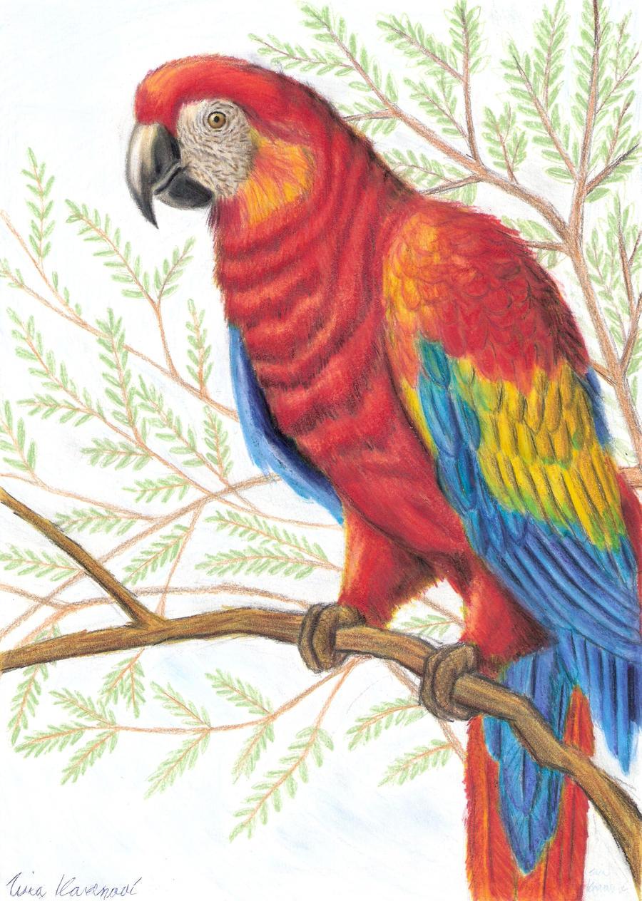 Parrot Ara By Tina771 On Deviantart