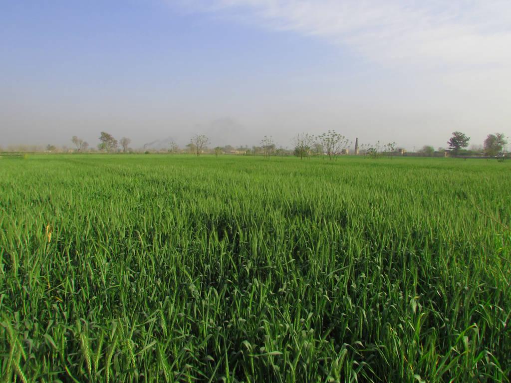 wheat field by onlyasim