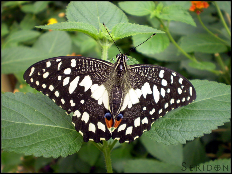 Citrus Swallowtail by Seridon