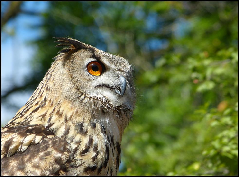 Eurasian eagle owl by Seridon